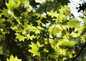 vine-maple