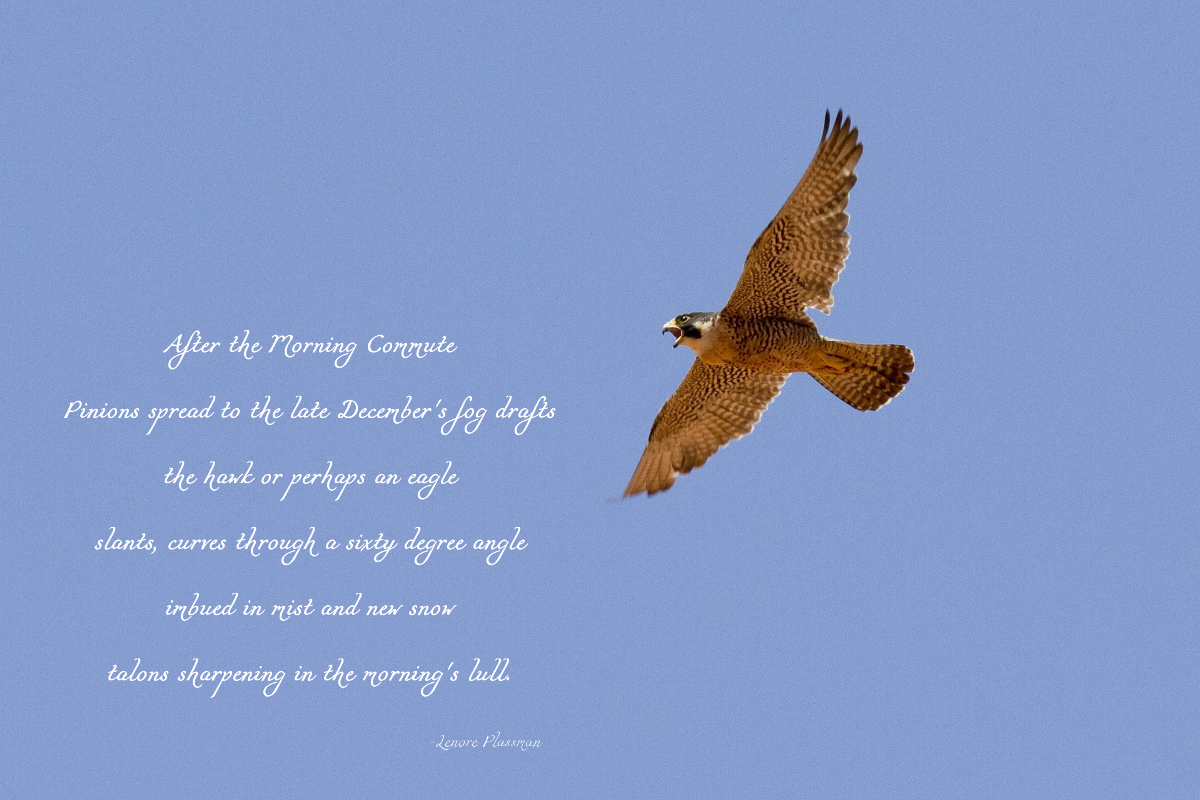 Winter Hawk Poem 1200.jpg